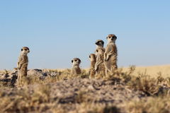 Meerkats stående övre Arkivbilder