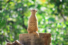 Meerkats stand alone on the rock Stock Image