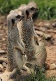Meerkats standing Arkivfoto