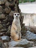 Meerkats standing on guard watching for danger to prepare to protect itself in a zoo. With selective focus Stock Image