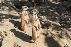 Meerkats standing on the land Royalty Free Stock Photography