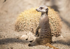 Meerkats standing Royalty Free Stock Photo