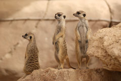Meerkats standing on rock. Meerkats or Suricats are members of the Mongoose family. Picture was taken at Al Ain Zoo royalty free stock photography
