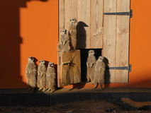 Meerkats standing upright in sun Royalty Free Stock Photo