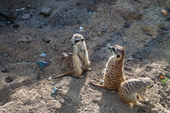 Meerkats staring Royalty Free Stock Photo