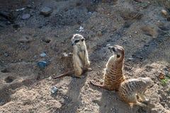 Meerkats staring. Cute Meerkats staring at something royalty free stock photo
