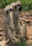 Meerkats Stellung Stockfoto
