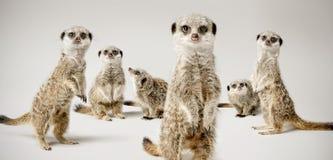 Meerkats. A studio shot of a group of meerkats Stock Photography