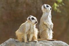 Meerkats sulla pietra Fotografia Stock