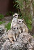 Meerkats sulla protezione Immagine Stock Libera da Diritti