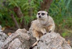Meerkats sulla protezione Immagini Stock