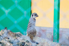 Meerkats on the sun. Meerkats staring at something and enjoing the sun stock photography