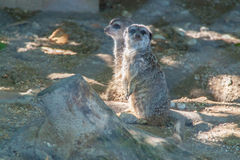 Meerkats on the sun. Meerkats staring at something and enjoing the sun royalty free stock photo