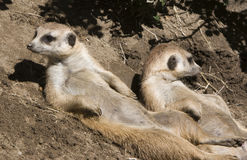 Meerkats Sunning. Two Meerkats laying on their backs enjoying the sun royalty free stock photo