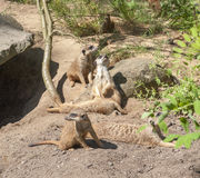 Meerkats in sunny ambiance Stock Images