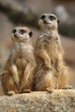 Meerkats sur la surveillance Photographie stock libre de droits