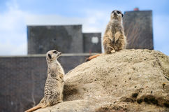 Meerkats (Suricata). Is being alerted Stock Photos
