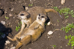 Meerkats (Suricata suricatta). A lazy meerkat is having sunbath Royalty Free Stock Photography