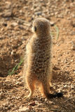 Meerkats (Suricata suricatta ) Royalty Free Stock Image