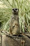 Meerkats (Suricata suricatta) Stock Images