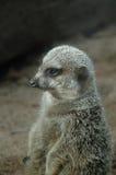 Meerkats (Suricata suricatta) Stock Photo