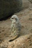 Meerkats (Suricata suricatta) Stock Photos