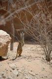 Meerkats (Suricata suricatta) Royalty Free Stock Image