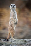 Meerkat - Suricata suricatta. Alert suricate or meerkat (Suricata suricatta) on the lookout Royalty Free Stock Photos
