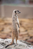 Meerkat - Suricata suricatta. Alert suricate or meerkat (Suricata suricatta) on the lookout Royalty Free Stock Photography