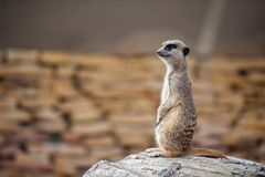Meerkat - Suricata suricatta. Alert suricate or meerkat (Suricata suricatta) on the lookout Stock Images