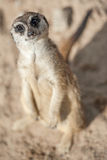 Meerkat - Suricata suricatta. Alert suricate or meerkat (Suricata suricatta) on the lookout Royalty Free Stock Image
