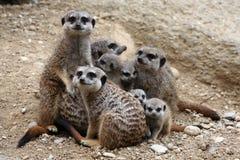 Meerkats (Suricata suricatta) Royalty Free Stock Images