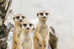 Meerkats (Suricata suricatta) Royalty Free Stock Photo