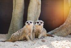 Meerkats suricata suricatta Royalty Free Stock Photos