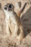 Meerkats - Suricatasuricatta Royaltyfri Bild