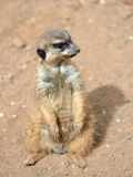 Meerkats (suricate) Стоковые Изображения RF