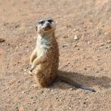 Meerkats (suricate) Стоковое Изображение RF