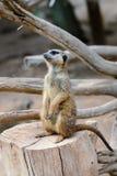 Meerkats (suricate) Стоковые Фотографии RF