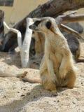 Meerkats (suricate) Стоковое фото RF