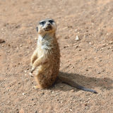 Meerkats (suricate) Royalty Free Stock Image
