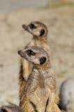 Meerkats (suricate) en deber de guardia Imagen de archivo libre de regalías