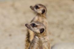 Meerkats (suricate) en deber de guardia Imágenes de archivo libres de regalías