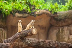 Meerkats suricate are on guard. Royalty Free Stock Photos