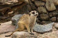 Meerkats or Suricate looking around. Their cave Royalty Free Stock Photos