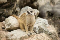 Meerkats or Suricate looking Royalty Free Stock Image