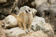 Meerkats or Suricate looking. Around their cave Royalty Free Stock Image