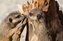 Meerkats (suricate) op wachtplicht stock foto's