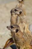 Meerkats (suricate) op wachtplicht stock foto