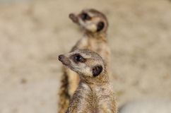 Meerkats (suricate) op wachtplicht royalty-vrije stock afbeeldingen