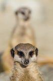 Meerkats (suricate) op wachtplicht stock afbeeldingen